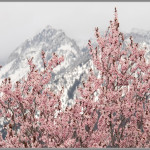 Spring Blossoms - Salt Lake City