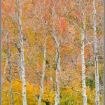 Rainbow Aspens - Alta, Utah
