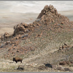 Bison - Antelope Island, Utah