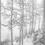 Aspens, Fog & Snow - Alta, Utah