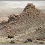 Antelope Island Bison Print