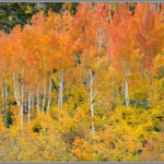 Fiery Fall Aspens
