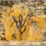 Lacy Fall Cottonwood Tree