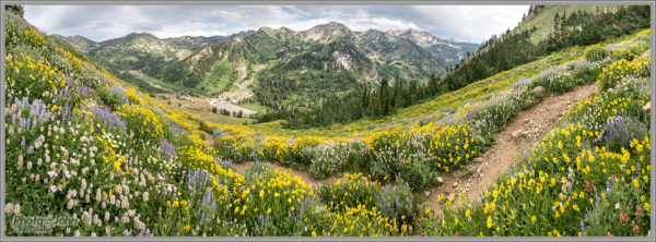 Alta Summer Wildflowers Panorama